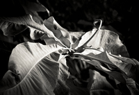 Black and white photo of flower from Dream Time Flora exhibit