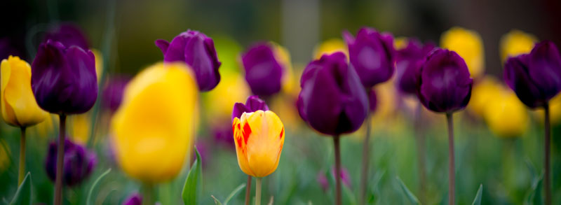 purple and gold spring tulips
