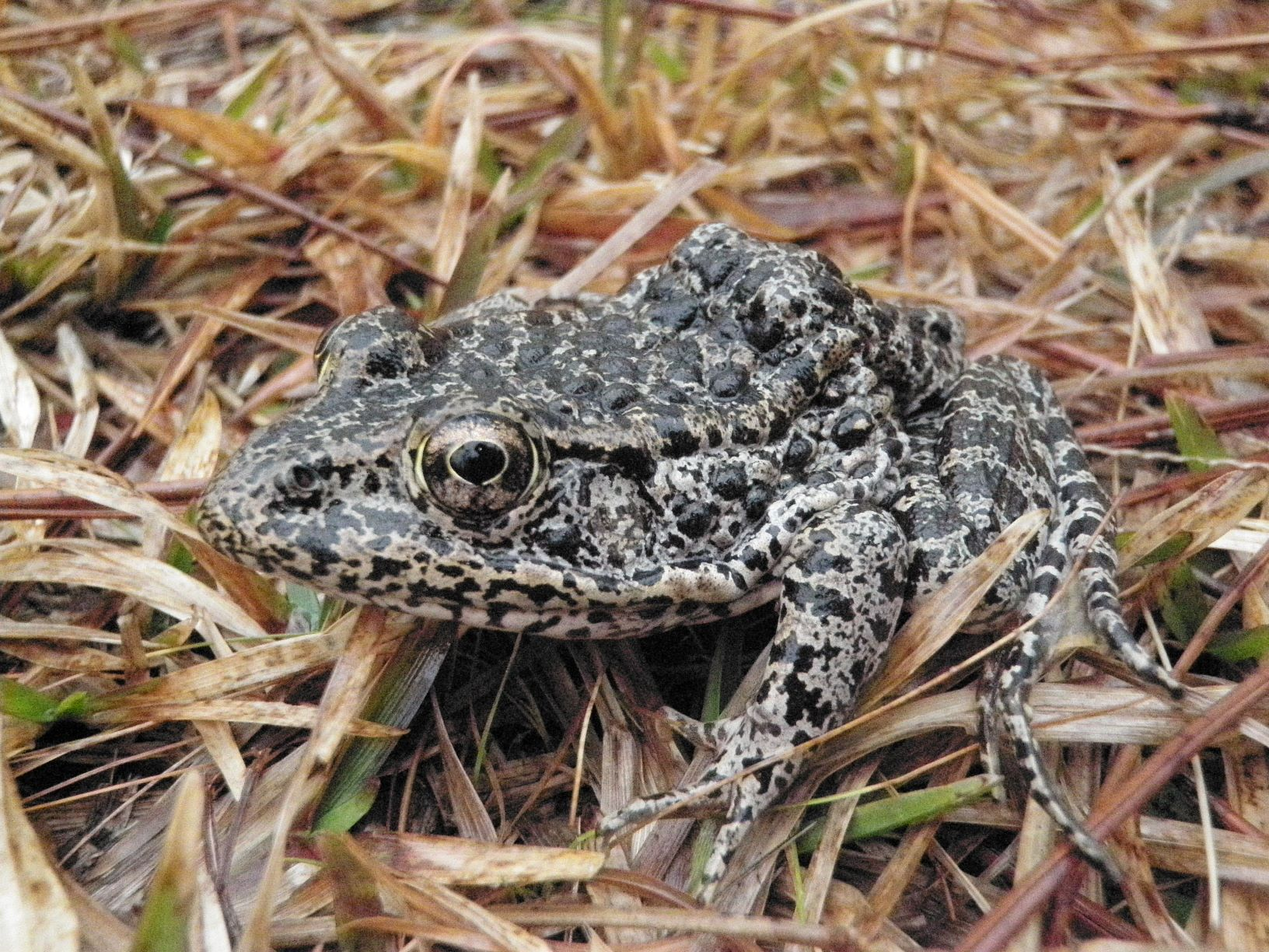 The endangered dusky gopher frog.