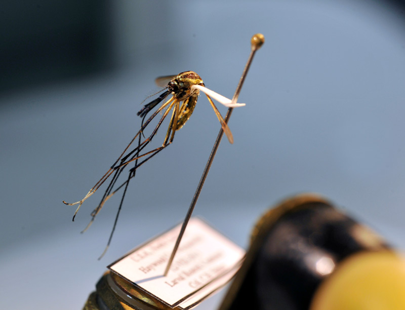 Mosquito on a pin